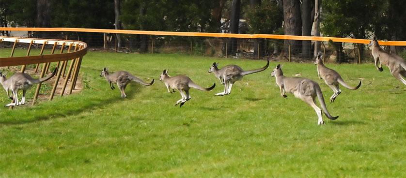 Kangaroos KPIs